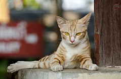 Yellowish (paza140) Tags: pet look animal yellow cat tiger national geographic yellowish paza140