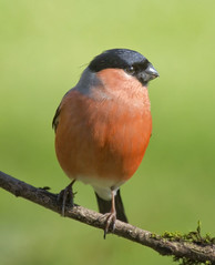 Bullfinch(male) (JOHN CRAWFORD2011) Tags: nature birds wildlife thewonderfulworldofbirds allofnatureswildlifelevel1 bullfinchfinch