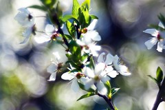 Have a sunny Day! (memories-in-motion) Tags: light macro garden spring bokeh sunny meyergrlitz flowerblossoms trioplan trioplan100