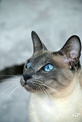 Noble (G3eg) Tags: cats siamese bluepoint