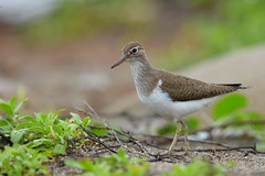 Common Sandpiper-2013-0428--DSC_6690 (Dennis33053) Tags: taiwan commonsandpiper