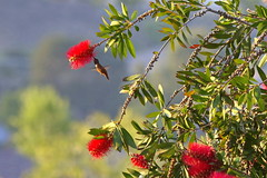 Hummingbird just in time (Chief Bwana) Tags: bird hummingbird wildlife psa104 chiefbwana