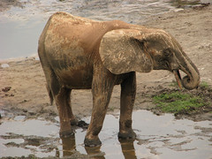 Elephant Painted With Mud (icajoleu) Tags: elephant centralafricanrepublic dzangabai dzangasangha