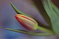 """Life isn't a tiptoe through the tulips."" (stjernesol) Tags: pink green pretty dof pale tulip depth verydelicate mymothersfavflower mineareroses wellactuallymaybenot butrosesaretheonlythingiamnotallergicto tulipsarepretty prettierthanmostflowersp"