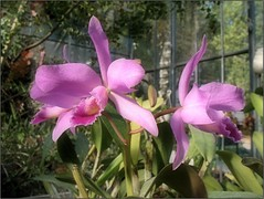 (Tlgyesi Kata) Tags: orchid blossom budapest greenhouse botanicalgarden orchidea fvszkert botanikuskert veghz withcanonpowershota620