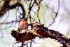 Chaffinch (AJo58Photo) Tags: bird spring sweden skandinavien sverige scandinavia chaffinch vår fågel gislaved bofink nikond5200