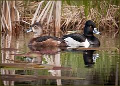 Ring-necked Duck Couple (TT_MAC) Tags: duck wetlands marsh ringneckedduck aythyacollaris cumberlandbc ringneckedduckfemale ringneckedduckmale
