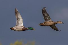 mallard (colin 1957) Tags: ducks mallard micklemere