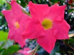 Mandevilla sanderi 'scarlet pimpernel' (yewchan) Tags: flowers flower nature colors beautiful beauty closeup garden flora colours gardening vibrant blossoms blooms lovely mandevilla mandevillasanderi