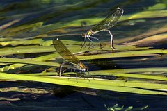 damigelle (66Colpi) Tags: dragonfly ali acqua riflessi damigelle