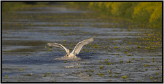 A Day On The Levels (CliveDodd) Tags: swan mute cygnus olor