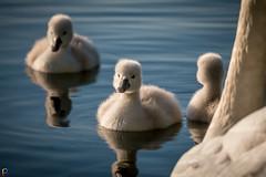 Family - Swan Cygnets (JTPhotography) Tags: baby lake cute nature swimming river swan sweet wildlife cygnet schwan niedlich kken ss panasonic45200mm panasoniclumixg6