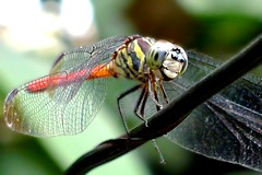 DragonFly_3 (whisky sierra) Tags: dragonfly flyinginsect smallinsect