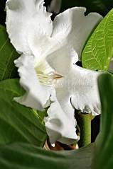 easter lily vine (Beaumontia grandiflora) explore (DOLCEVITALUX) Tags: plants lily beaumontiagrandiflora aster vineflowerflowersflorafaunaphilippinesmedicinal