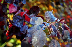 colours, dew and bokeh (charlottehbest) Tags: november autumn trees colours bokeh arboretum gloucestershire autumncolours westonbirt autumnal westonbirtarboretum 2015 charlottehbest