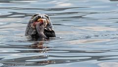 Lturkpur - Halichoerus grypus - Grey seal (Bjarki Dalsgar) Tags: fish water cod faroeislands halichoerusgrypus greyseal froyar lturkpur bjarkidalsgar bjarkigdalsgar bjarkigyldenkrnedalsgar