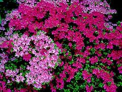 My Lovely #azaleas Bloom again (RenateEurope) Tags: pink flowers germany flora azaleas nrw multicolored 2016 azaleen iphoneography renateeurope