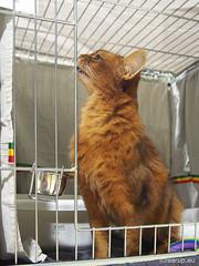 Caithlin by the open door (Finn Frode (DK)) Tags: show pet cats animal cat denmark indoor olympus som somali somalicat catshow hvidovre caithlin racekatten fif omdem5 dusharacathalcaithlin