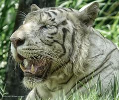 """Tiger Smile"" (Pandymonium) Tags: original bali smile indonesia mammal photography photo originalart teeth tiger bigcat photograph tigers mammals animalplanet bigcats whitetiger balinese originalphotography"