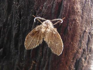 Moth fly (Clogmia albipunctata)