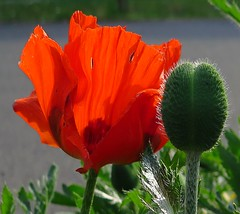 The beauty and the beast (langkawi) Tags: red flower rot poppy bud blte mak papaver knospe mohn crveni