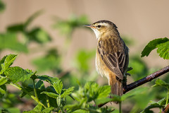 Sedge Warbler (ianjoseph273) Tags: wildlife trust warren worcestershire warbler upton sedge