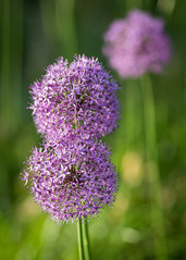 Ornamental Onions (esmccrory) Tags: flower green beautiful purple bokeh onion ornamental chives 500px ifttt