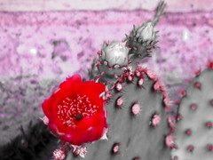 Monochrome bold cactus (EllenJo) Tags: red cactus bw flower monochrome pentax bloom 2016 june15 50mmlens ellenjo ellenjoroberts digitalcameraandanaloglens pentaxqs1 vintagepentaxklens pentaxqwithpentaxklens vintage50mmpentaxlens