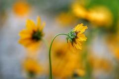 Yellow flower (JPShen) Tags: flowers flower yellow bokeh windy