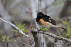 Paruline flamboyante - American Redstart (Judith Lessard) Tags: birds warbler oiseaux princeedwardcounty americanredstart paruline parulineflamboyante