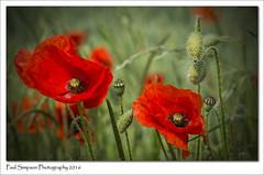 Lovely Poppies (Paul Simpson Photography) Tags: summer green nature grass farmland poppy poppies crops naturalworld redflower summerflower redpoppy photosof imageof photoof imagesof sonya77 paulsimpsonphotography june2016