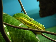 Green Tree Python (Christa_P) Tags: green animals germany deutschland tiere europe reptile snake grn schlange reptil rheinberg terrazoo