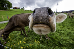 Sniff Sniff (rianklong) Tags: green grass animal nose switzerland cow farm pasture sniff livestock appenzell sz gais canonef1635mmf28liiusm canoneos5dmarkii canon5dmarkii