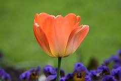 Tulip (careth@2012) Tags: nature petals spring tulip