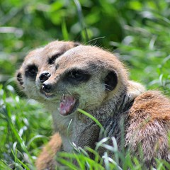 Meerkat (CharlyJade) Tags: meerkat snarl