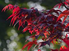 P5258201 (Paul Henegan) Tags: blur leaves morninglight japanesemaple samaras