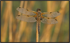 Warming Up (CliveDodd) Tags: chaser libellula fourspotted quadrimaculata