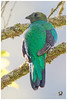 Resplendent Quetzal / Quetzal Resplandeciente - ♀ (Panama Birds & Wildlife Photos) Tags: bird birds aves panama quetzal trogon chiriqui quetzals neotropicalbirds trogón trogons panamabirds panamawildlife birdsofpanama avesdepanama trogones neotropicalbird