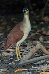 D75_9918 (dhamments2013) Tags: bird australian northernterritory rufousnightheron mickandsusievisit thelmalouiseroady2016