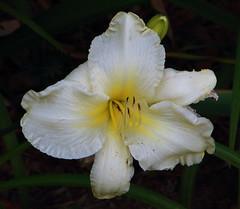 White Lily - From Marilyn's Flower Garden (danjdavis) Tags: flower whiteflower lily marilynsflowergarden