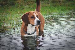 Water Dog (Niks Freimanis) Tags: dog pet beagle water canon countryside country baltic latvia tamron pound suns 70300 latvija 70d taksis iekurs bgls majdzivnieks