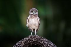 Owlet (Megan Lorenz) Tags: travel wild bird nature florida wildlife owl avian birdofprey wildanimals burrowingowl 2016 owlet mlorenz meganlorenz