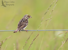 Savannah Sparrow (Shawn Collins Photography) Tags: bird nature birds canon outdoors photography pennsylvania wildlife birding sparrows grasslands mercercounty crawfordcounty bobolinks venangocounty pabirds pabirding