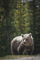 Majestic grizzly in Banff NP (Blu3ness) Tags: park sunset canada nature sunrise canon landscape jasper hiking wildlife national alberta parkway banff icefield
