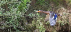 Wild duck (1 van 1) (P-B-fotografie) Tags: animal bird birds duck eend feathers flight flying nature oiseau vogel wild wildlife