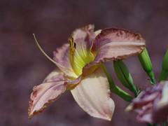 Day Lily (bamboosage) Tags: voigtlander ngc sl 180 f4 apolanthar