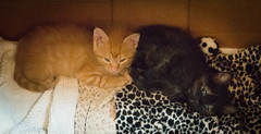 IMG_9961 (jaglazier) Tags: usa cats cute animals june unitedstates tiger indiana kittens bloomington mammals isis blackie 2016 61916 copyright2016jamesaglazier