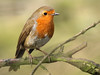 Robin (Mr Grimesdale) Tags: robin gardenbirds britishbirds stevewallace mrgrimesdale