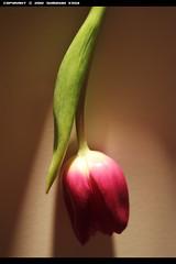 Tulip (1/?) ( SUMAYAH ) Tags: ca flower canon photography tulip  550d sumayah