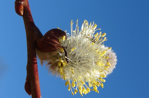 Pussy willow, showing anthers and mating insec...